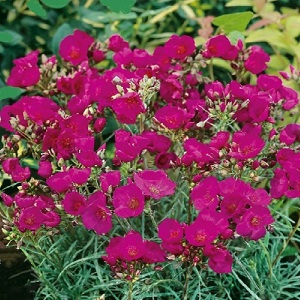 Calandrinia umbellata 'Ruby Tuesday' / Rock Purslane / Seeds